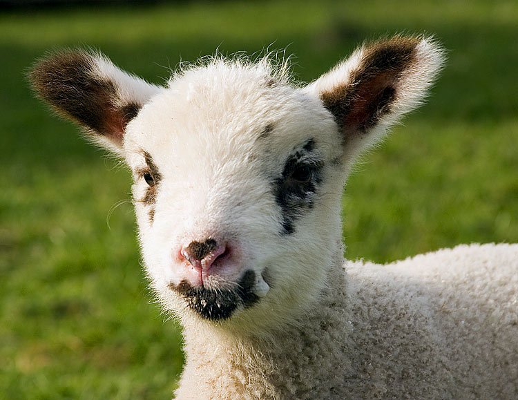 "photo ""A Lamb"" tags: nature, pets/farm animals"