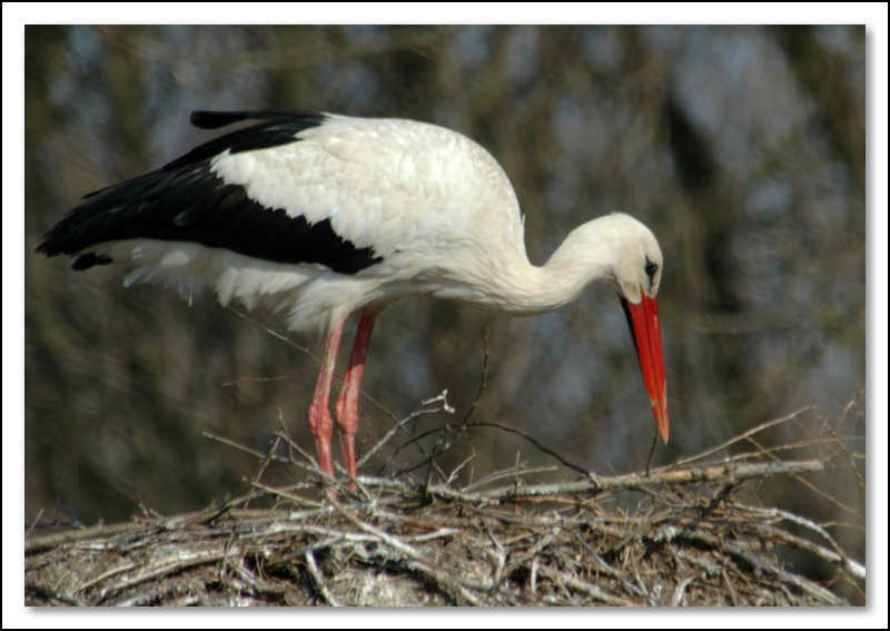 "photo ""stork building nest"" tags: nature, wild animals"