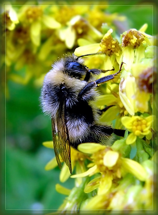 "photo ""Shaggy ""Bee-liner""."" tags: nature, macro and close-up, insect"