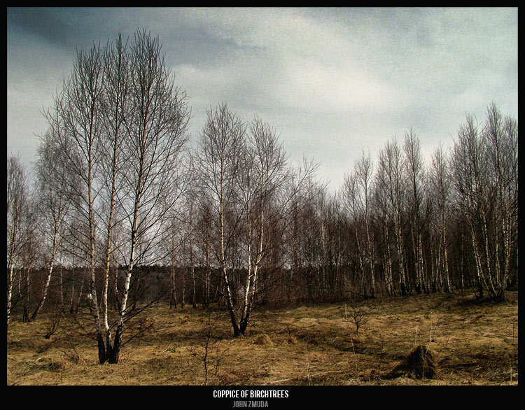"photo ""coppice  of  birchtrees"" tags: landscape, forest, spring"