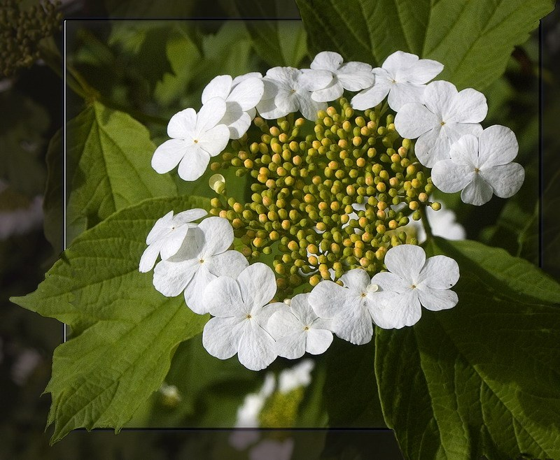 "photo ""White Flowers"" tags: nature, macro and close-up, flowers"