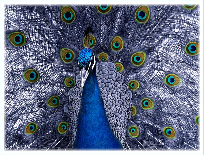 "photo ""Proud peacock"" tags: nature, portrait,"