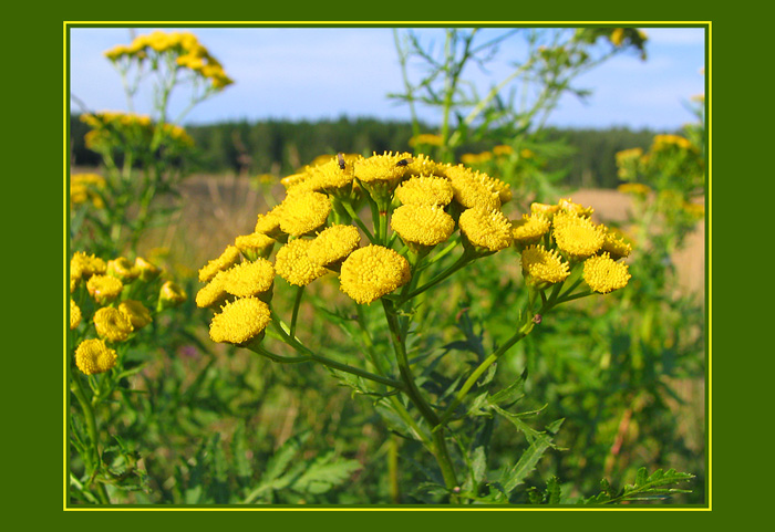 "photo ""Smell of the Tansy"" tags: nature, flowers"