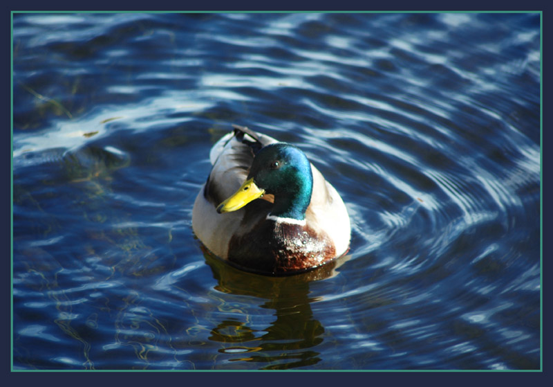 "photo ""Swimming in  the April Sun"" tags: nature, wild animals"