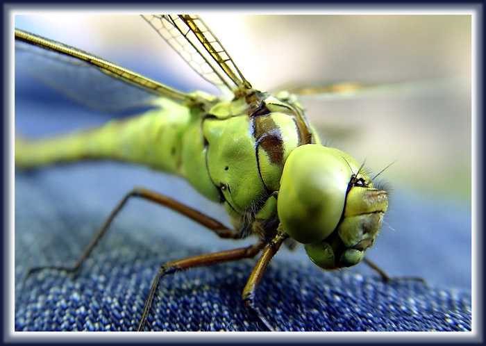 "photo ""Muse for Igor Sikorsky."" tags: macro and close-up, nature, insect"
