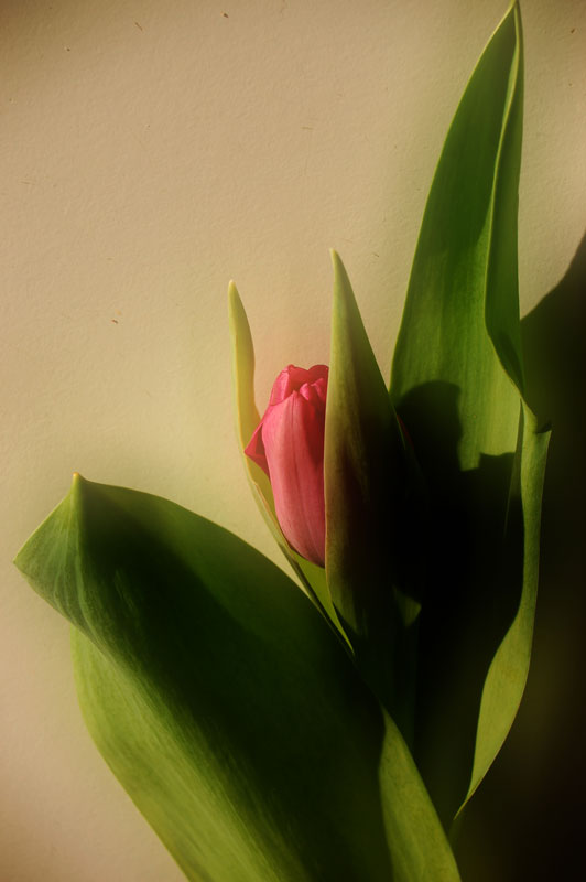 "photo ""tulipfever..."" tags: ,"