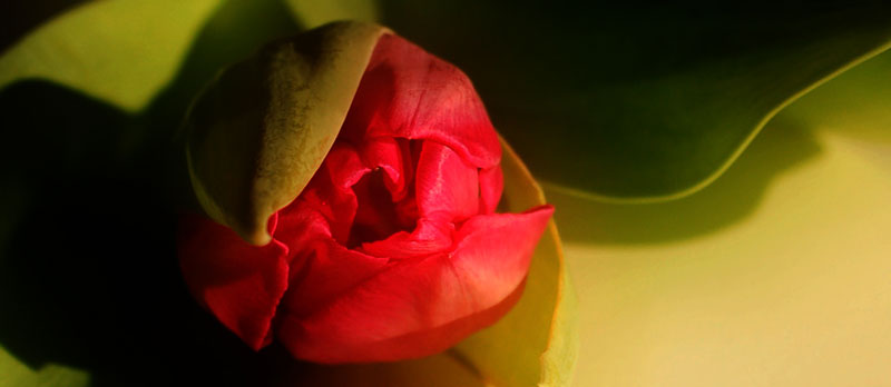 "photo ""tulipfever 2"" tags: ,"