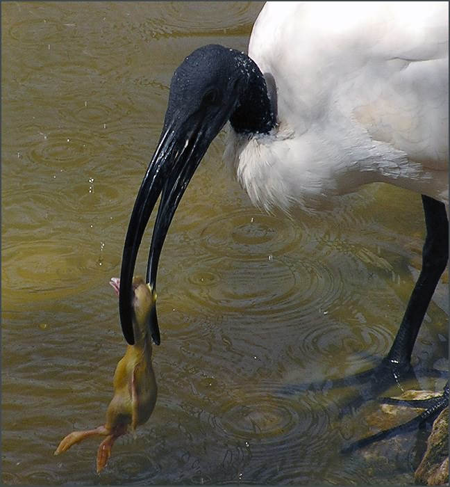 """photo """"Hypocrite's meal"""" tags: nature, reporting, wild animals"""