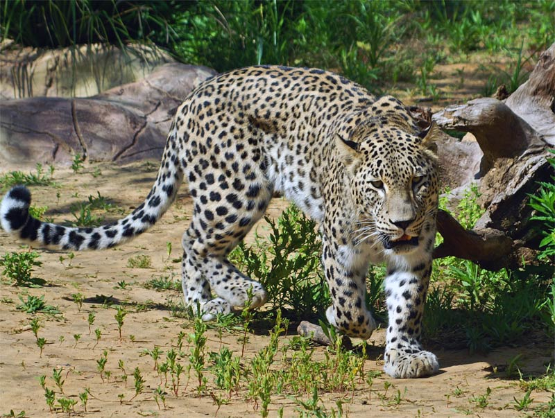 "фото ""кошка"" метки: природа, дикие животные"