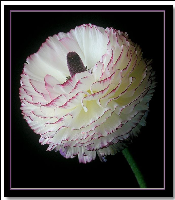 """photo """"ranunculus"""" tags: nature, flowers"""