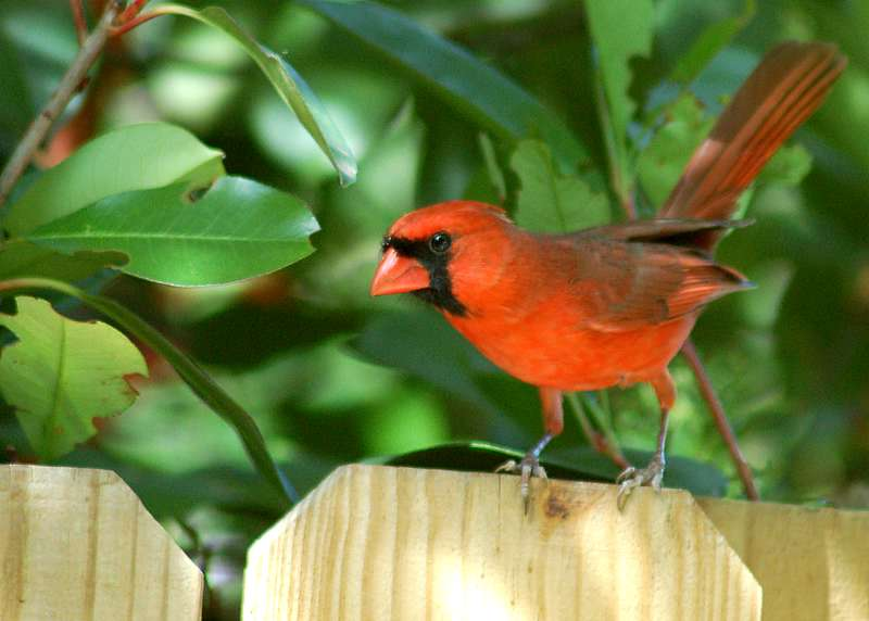 "photo ""Cardinal"" tags: nature, wild animals"