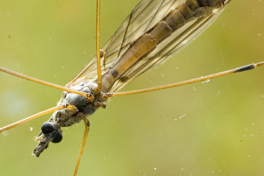 "photo ""A Mosquito"" tags: macro and close-up, nature, insect"