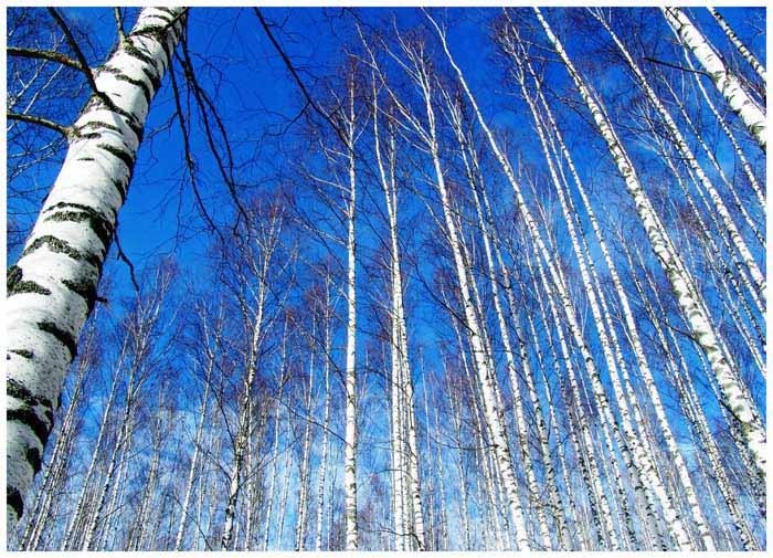 """фото """"Апрельские березы"""" метки: пейзаж, лес"""
