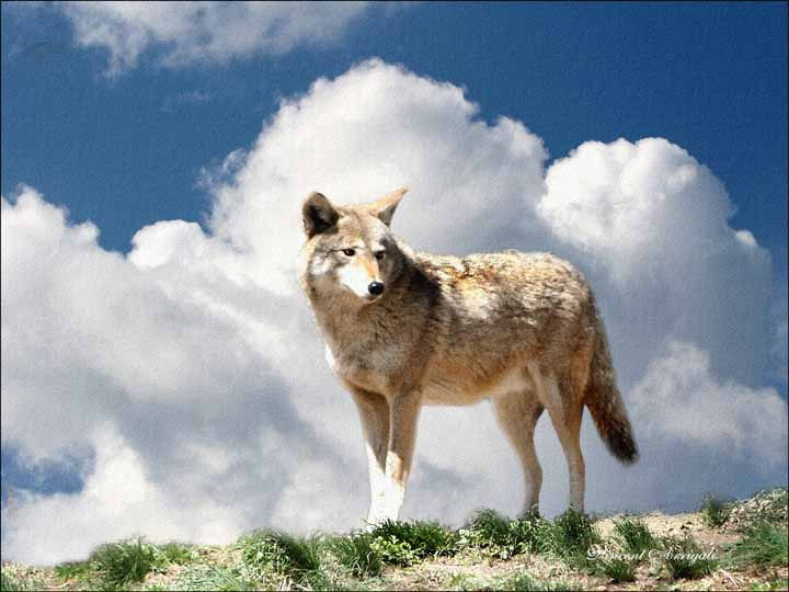 "photo ""The Coyote"" tags: nature, wild animals"