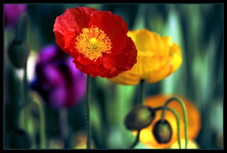 """photo """"Red Poppy"""" tags: nature, flowers"""