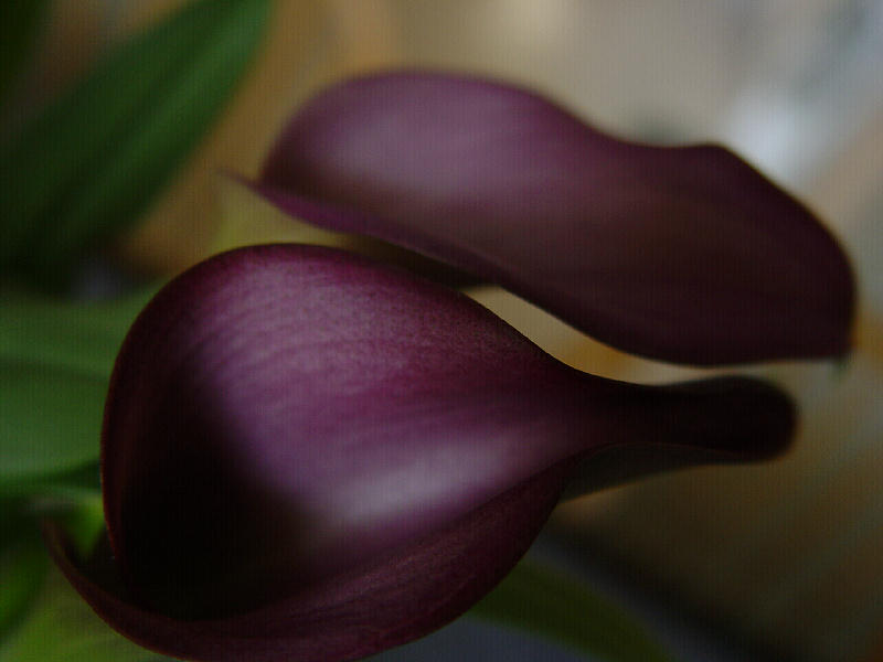 "photo ""Callas"" tags: nature, glamour, flowers"