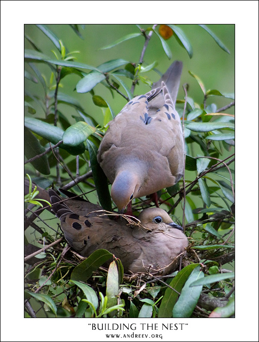"""photo """"Building the Nest"""" tags: nature, genre, wild animals"""