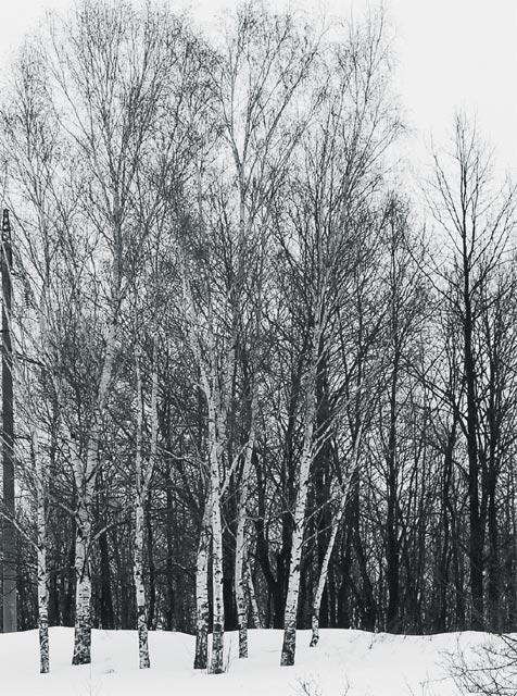 """фото """"Березы"""" метки: природа, черно-белые,"""