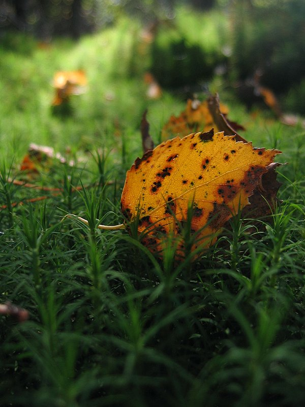 "photo ""Autumn's leaf"" tags: landscape, autumn, forest"