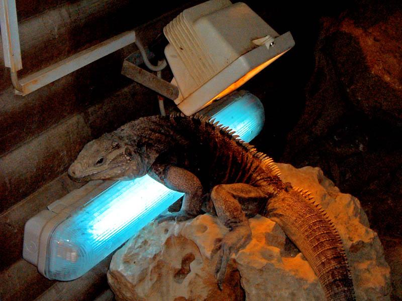 "фото ""Iguana"" метки: природа, дикие животные"
