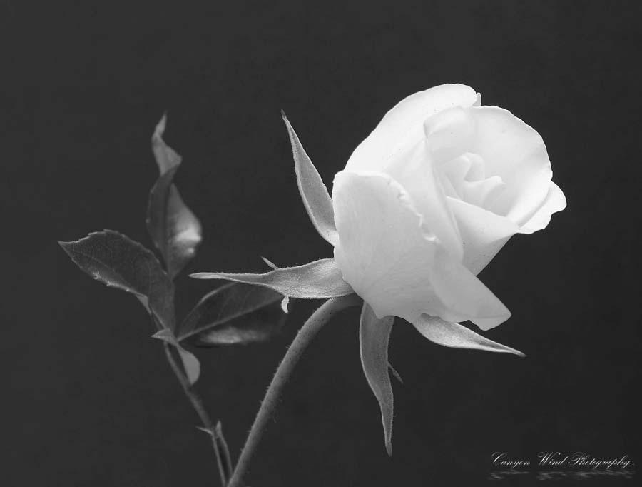 "photo ""Forever White ""."" tags: nature, black&white, flowers"