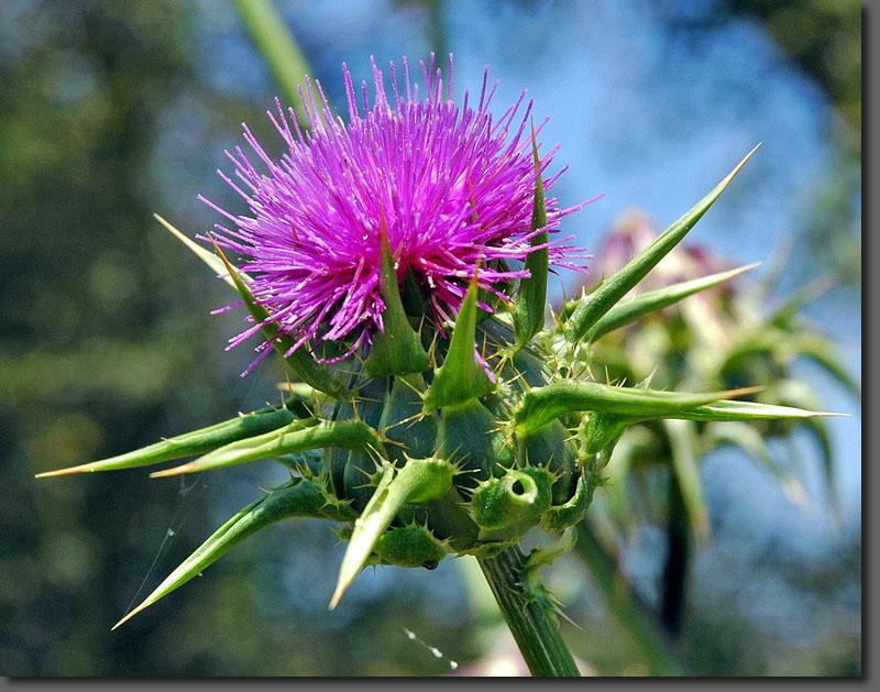 "фото ""Колючище"" метки: природа, цветы"