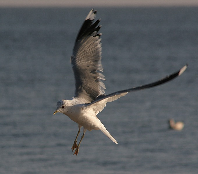 "photo ""Flight over the sea"" tags: nature, wild animals"