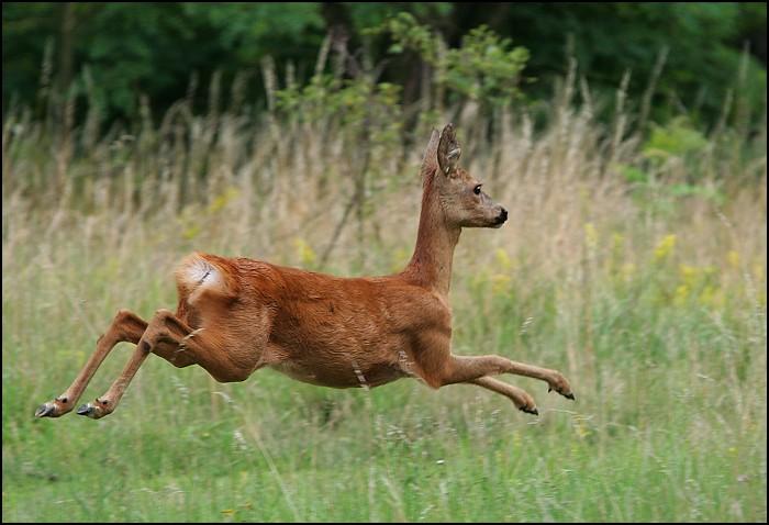 "photo ""Roebuck"" tags: nature, wild animals"