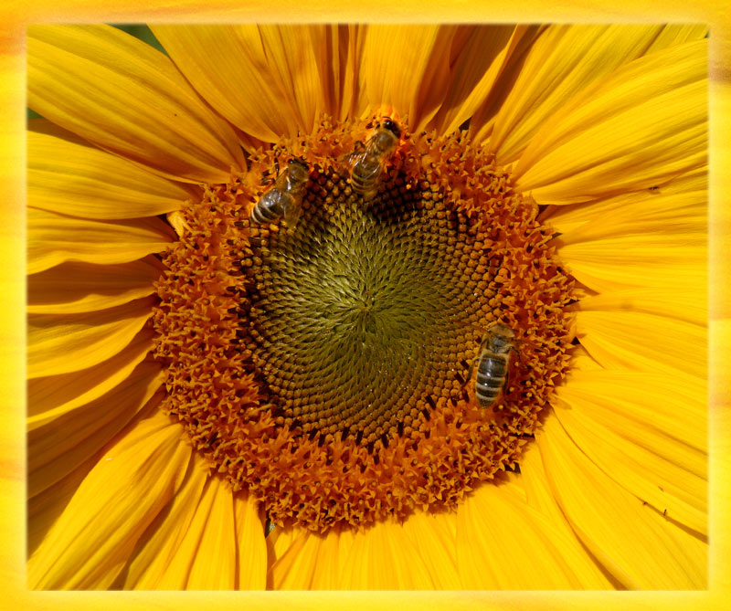 "photo ""sunflower"" tags: nature, insect, pets/farm animals"