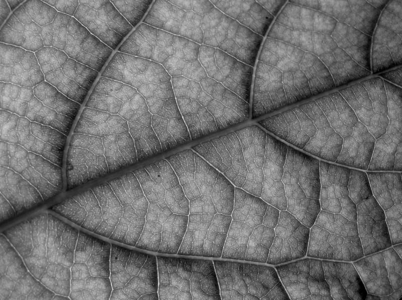 "photo ""Leaf Detail"" tags: black&white, macro and close-up,"