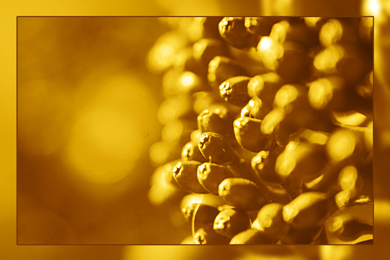 "photo ""goldene beeren"" tags: nature, macro and close-up,"