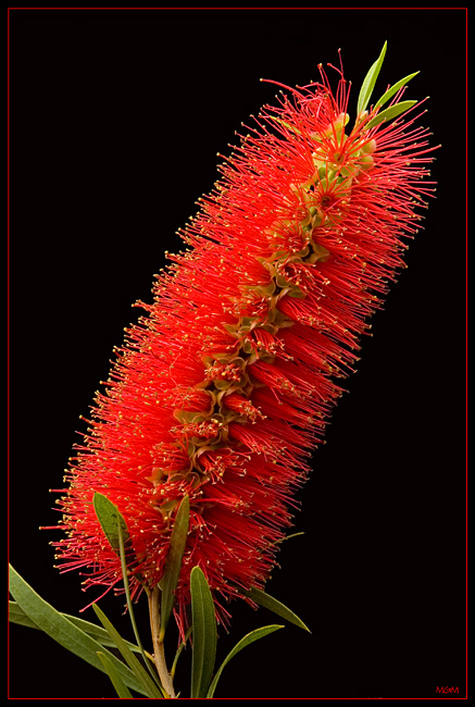 "photo ""Bottle Brush"" tags: macro and close-up, nature, flowers"