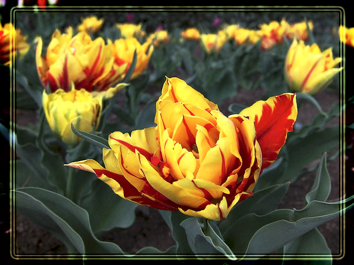 "photo ""Spring Tulip"" tags: nature, flowers"