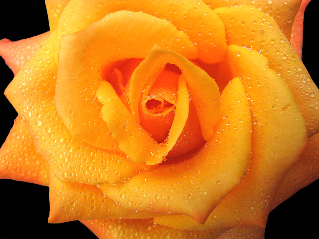 "photo ""Rose #1"" tags: ,"