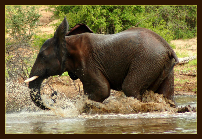 "photo ""Running Elephant"" tags: nature, wild animals"