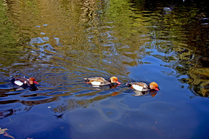 "photo ""Three Little Ducks"" tags: landscape, water"