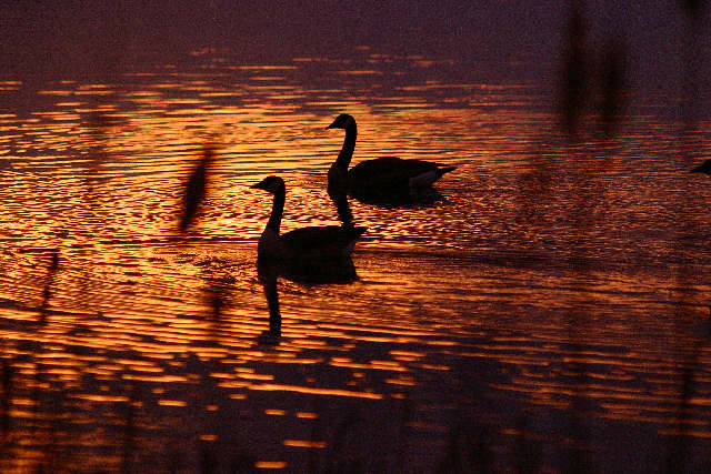 "photo ""Golden Geese"" tags: nature, landscape, sunset, wild animals"