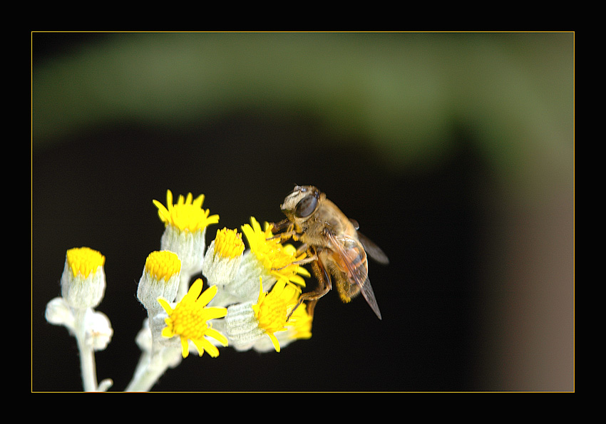 "photo ""Brundle Fly"" tags: nature, flowers, insect"