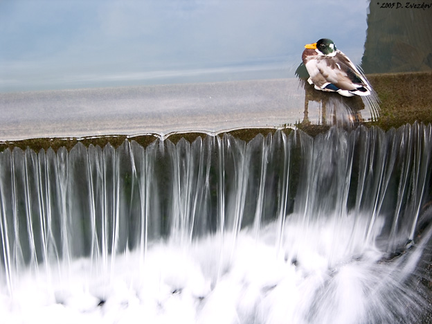 "photo ""A Duck and a Waterfall"" tags: nature, travel, Europe, wild animals"