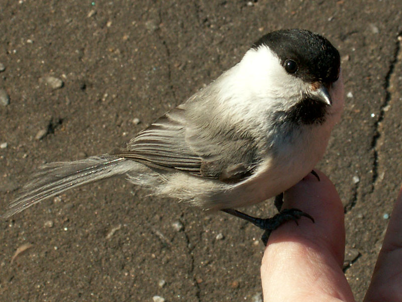"photo ""Marsh tit"" tags: nature, macro and close-up, wild animals"
