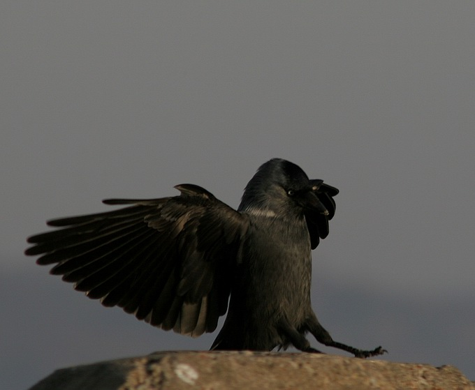 "photo ""Black Bird"" tags: nature, wild animals"