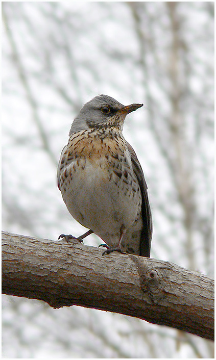 "photo ""Spring fieldfare portrait"" tags: nature, wild animals"