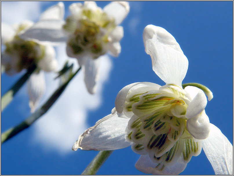 "photo ""Snowdrops and the sky"" tags: nature, macro and close-up, flowers"