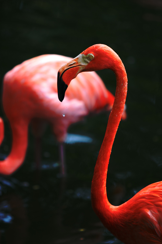 "photo ""Red Flamingo"" tags: nature, wild animals"