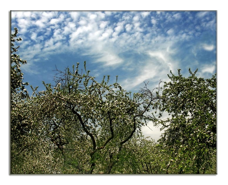 "photo ""Apple trees"" tags: landscape, spring"