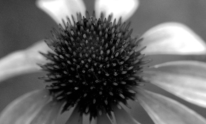 "photo ""Waiting for the Sun"" tags: nature, black&white, flowers"