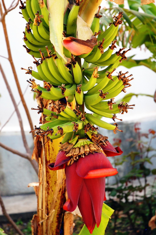 "photo ""Paradise banana"" tags: nature, flowers"
