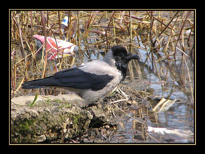 "photo ""City a raven"" tags: nature, wild animals"