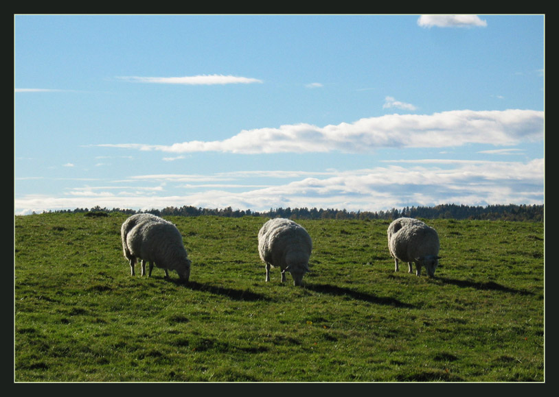 "photo ""A Sheeps Heaven"" tags: nature, pets/farm animals"