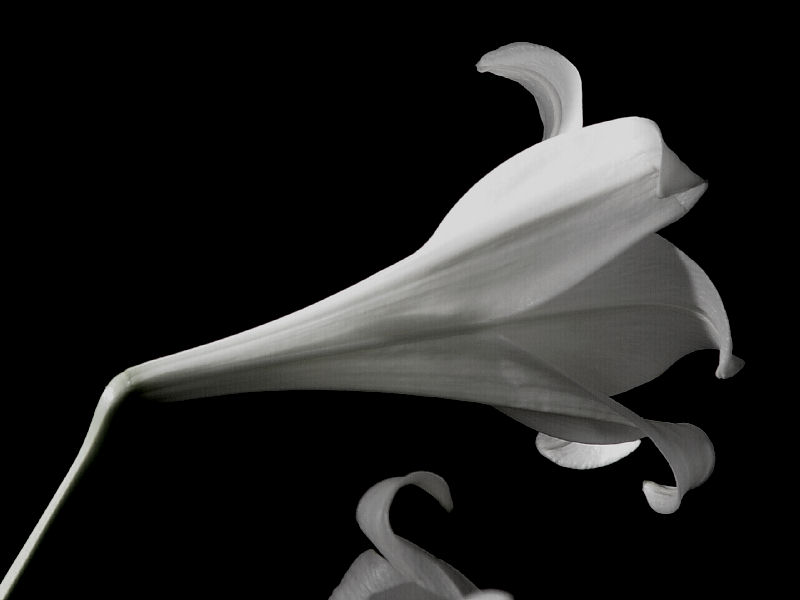 "photo ""Easter Lily"" tags: still life, black&white,"